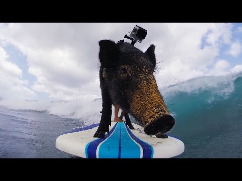 The Surfing… Pig?
